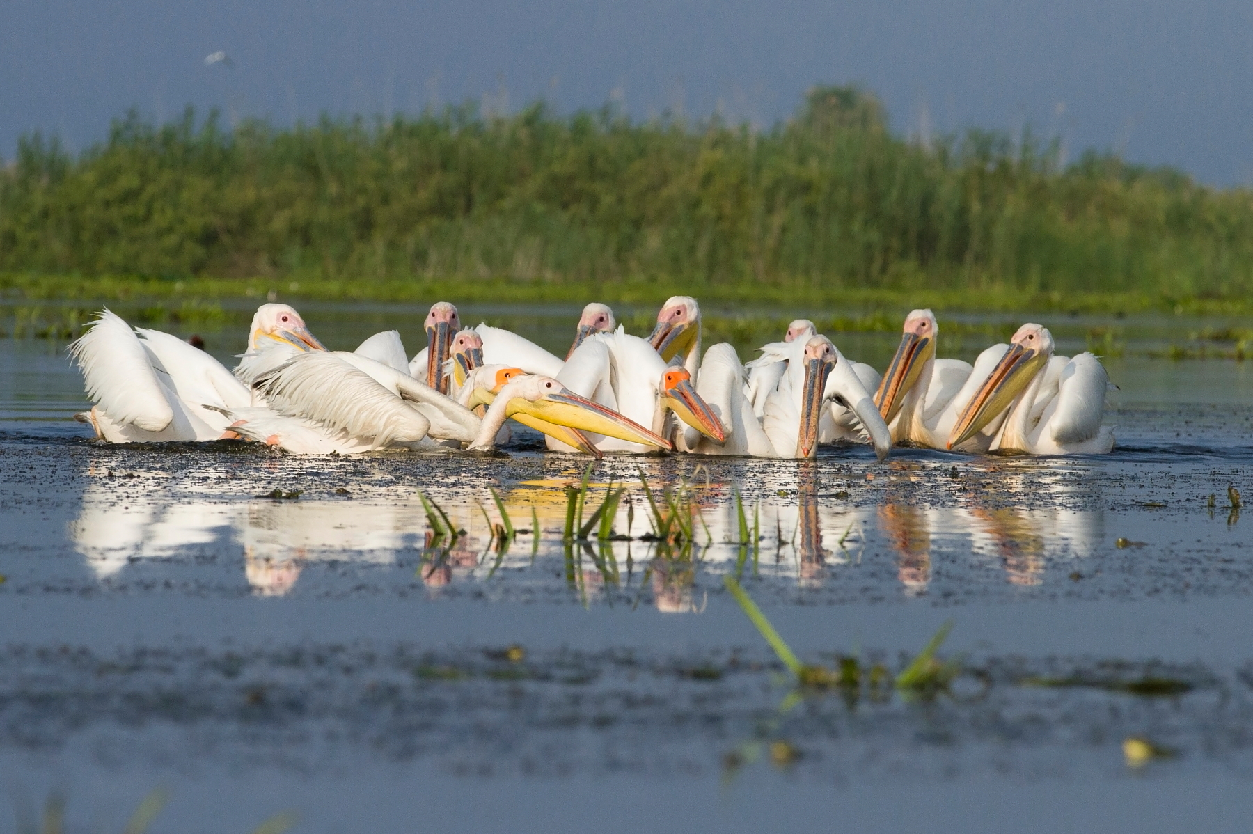 white_pelican_feeding_Zoltan_Baczo